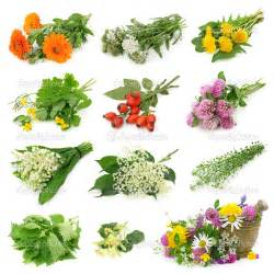 online glossary of herbal plants and their uses picture 11