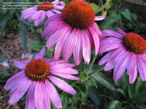 prairie frost echinacea picture 2