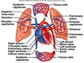 how does blood flow through the heart picture 15