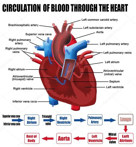 figure 8 of blood flow picture 1