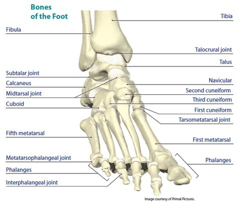 ankle joint picture 10
