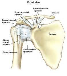 ac joint muscles picture 7