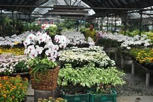 herbal na ornamental na halaman picture 11