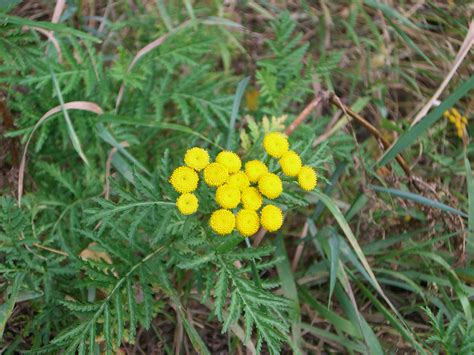 tansy herb in philippines picture 7
