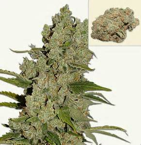 Herbal ecstacy picture 10