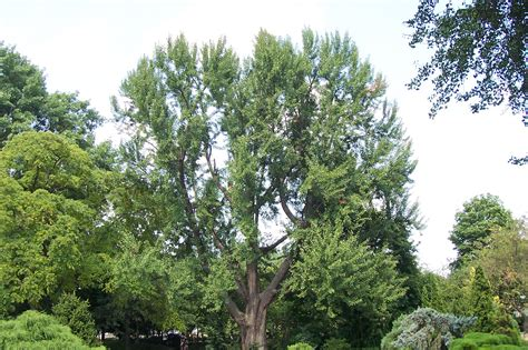 information on the ginkgo tree picture 2