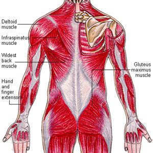 diagram of body muscle picture 2