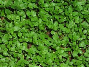 chickweed leaf picture 21