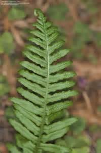 licorice fern picture 2