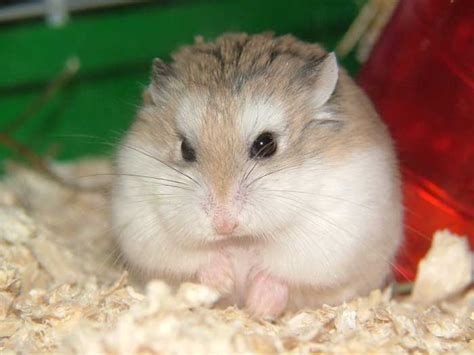 hamster videos picture 6
