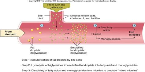 digestion of fat by lipase picture 9