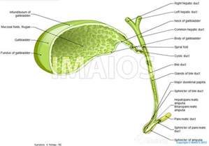 gall bladder and bile duct pictures picture 3
