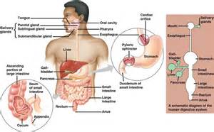 what systems does the liver work with picture 3