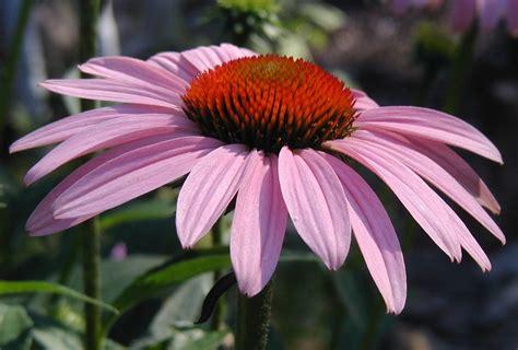 echinacea flower picture 3
