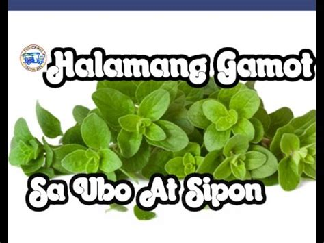 herbal na gamot sa ubo picture 2