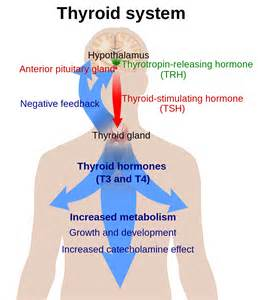 thyroid picture 2
