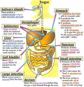 human digestion system picture 5