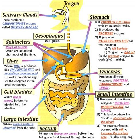 digestion system picture 10