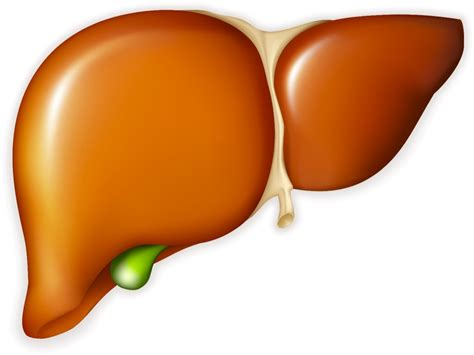 where is the liver picture 13