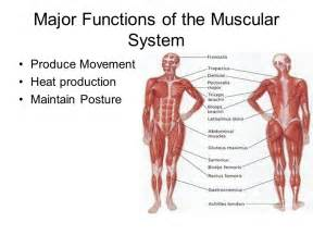 functions oe the muscle system picture 6
