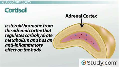 affects of aging on the adrenal cortex picture 9