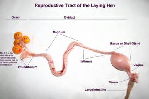 reproductive system and h picture 7
