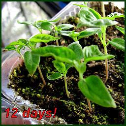 how long does it take red cayenne pepper picture 7