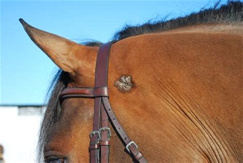 equine skin cancer picture 1