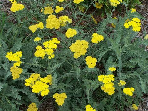 deadhead flowers yarrow picture 2