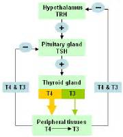 diagram of pathophysiology of thyroid storm picture 18