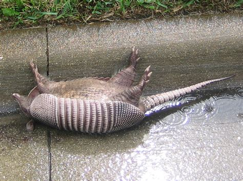 armadillo diet picture 3