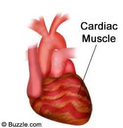 heart muscle picture 1