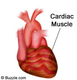 heart muscle picture 15