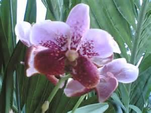 herbal na ornamental na halaman picture 2