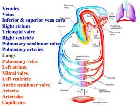 heart blood flow order picture 5