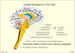 what supplement binds to opiate receptors picture 5