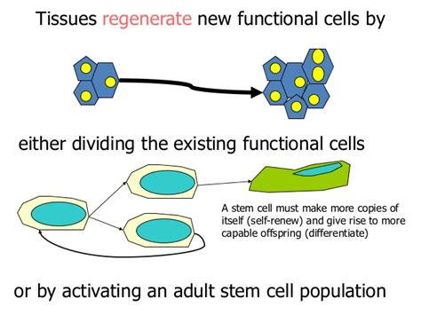stem cells regrow h picture 15