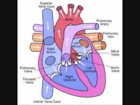 please review blood flow to and from the picture 14