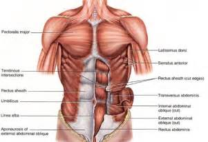chest muscle picture 2