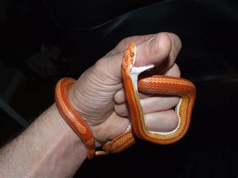corn snakes teeth picture 14