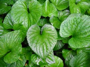 heart leaved plantain picture 10