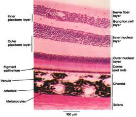 longitudinal muscle layer picture 15