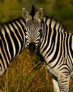 how are zebras h different to human h picture 5