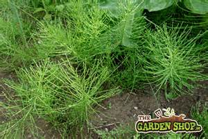 kill horsetail notious weed picture 2