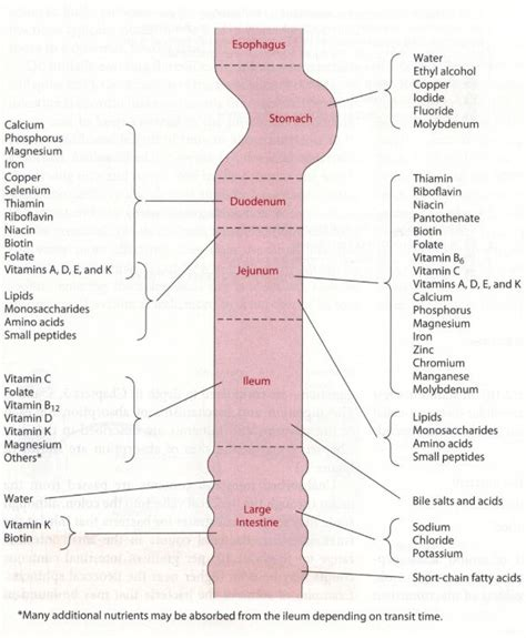 absokrbtion in the gastrointestinal tract picture 3