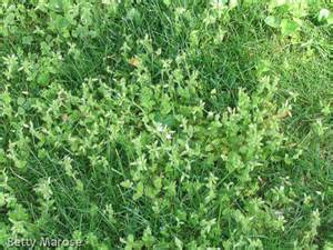 petal size of mouseear chickweed picture 7