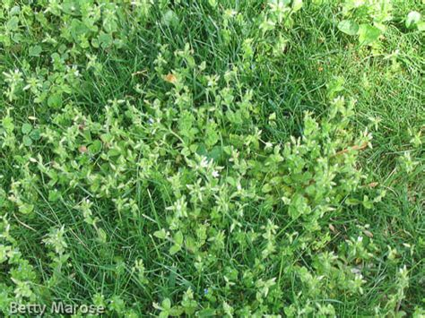 Chickweed Leaf picture 2