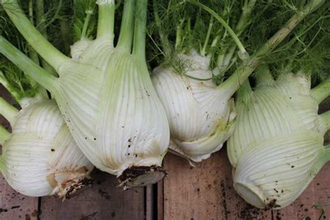 when to pick fennel picture 7