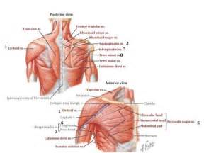 loose shoulder muscle anatomy picture 3