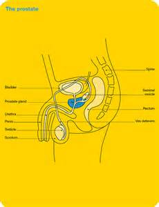 prostate diagram picture 13